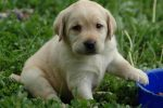 puppy lab HD wallpaper1