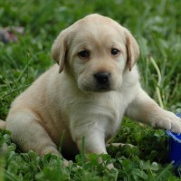 puppy lab HD wallpaper1